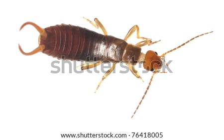 Common earwig (Forficula auricularia) isolated on white background, extreme close up with high magnification - stock photo