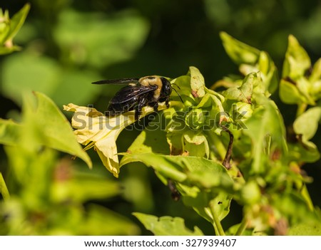 Common Eastern Bumble Bee (Bombus impatiens) gathering pollen from the four o'clock  flower (Mirabilis jalapa). - stock photo