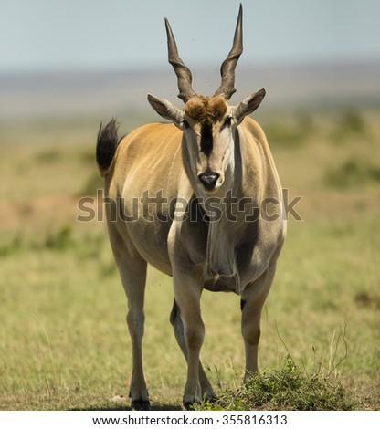 Common Eland, Taurotragus oryx, grazing, Masai Mara Game Reserve, Kenya. - stock photo