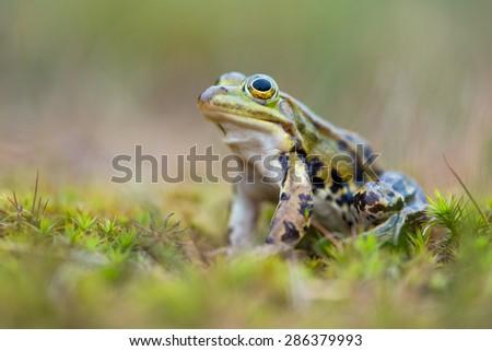 common European frog - stock photo