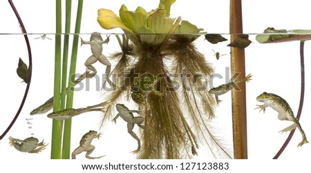 Common European frog or Edible Frog, Rana esculenta in water with plants and insects against white background - stock photo