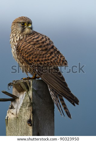 Common European Kestrel - stock photo