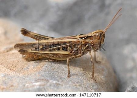 Common Field Grasshopper (Chorthippus brunneus) on the Gower Peninsula  - stock photo