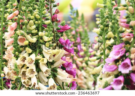 Common Foxglove flowers and buds,many beautiful purple,yellow and pink Common Foxglove flowers blooming in the garden - stock photo