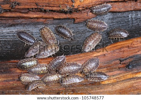 Common Garden Woodlice (Oniscus asellus) feeding on a rotting log - stock photo