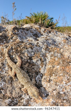 common Gecko (Tarentola mauritanica) and mediterranean habitat - stock photo