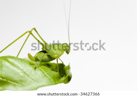 Common Green Grasshopper (Omocestus viridulus) on a leaf - stock photo