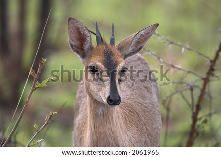 Common, Grey, Grimm's bush duiker front portrait - stock photo