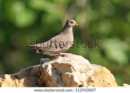 common ground dove - stock photo