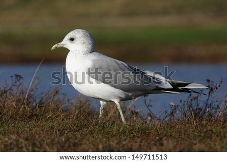 Common gull, Larus canus, Single bird standing on grass by water, Norfolk, Nov 2009                    - stock photo
