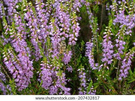 common heather and honey bee - stock photo