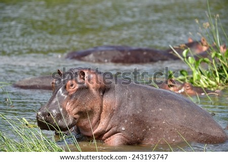 Common hippo - stock photo