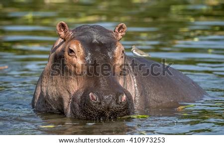 Common hippopotamus in the water.  Africa - stock photo