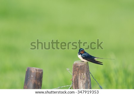common house Martin on wooden fence - stock photo