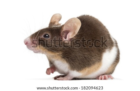 Common house mouse, Mus musculus, isolated on white - stock photo
