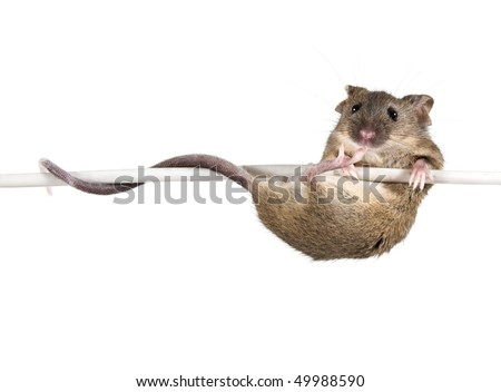 Common house mouse (Mus musculus) on a wire - stock photo