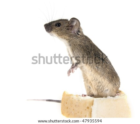 Common house mouse (Mus musculus) sniffs, standing on a crust of bread - stock photo