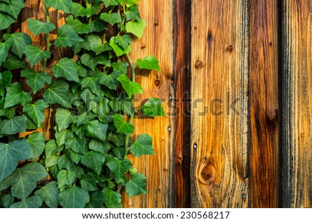 Common Ivy on Wood Wall - stock photo