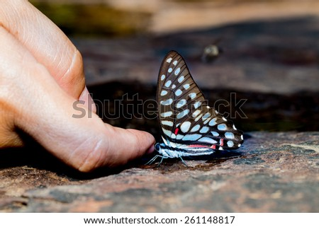 Common jay butterfly with human finger near water - stock photo