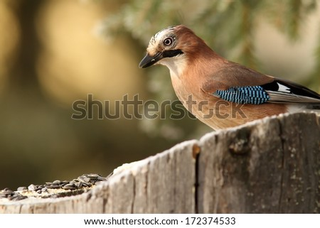 common jay ( garrulus glandarius ) standing on a stump with seeds to lure wild birds - stock photo