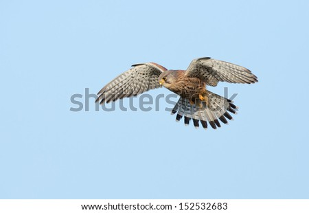 Common Kestrel in Flight - stock photo