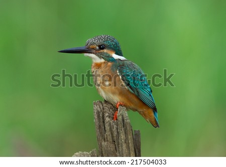 Common Kingfisher (Alcedo atthis) female on a branch - stock photo