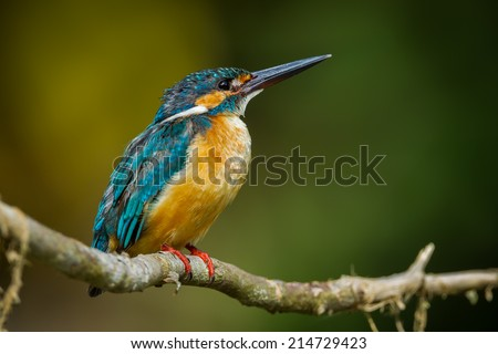 Common Kingfisher catch on the branch looking for enemies in nature at Khaoyai national park, Thailand - stock photo