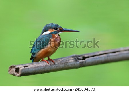 Common kingfisher(female) stand on bamboo stick. - stock photo