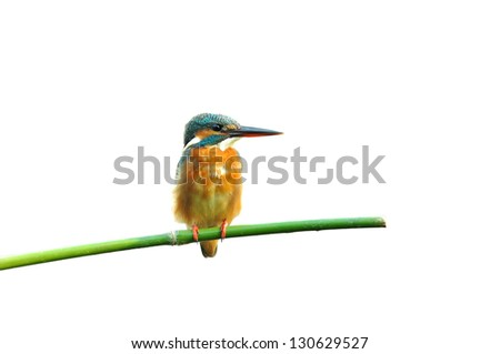 Common Kingfisher isolated on white background - stock photo