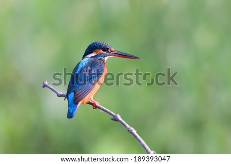 Common kingfisher(male) stand on little stick. - stock photo