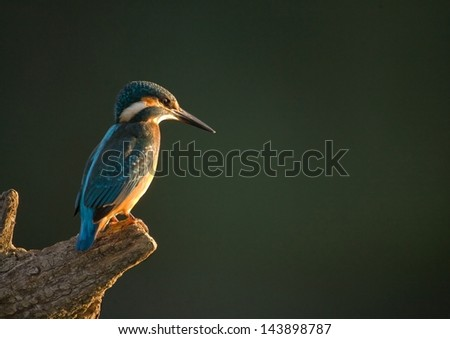 Common kingfisher sitting on a branch waiting - stock photo