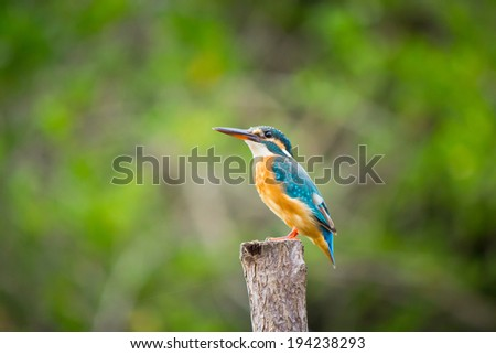 Common kingfisher sitting on the branch.  - stock photo
