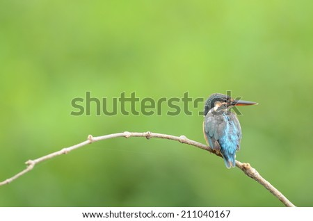 Common kingfisher with green background. - stock photo