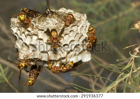 Common Large Paper Wasp nest - stock photo