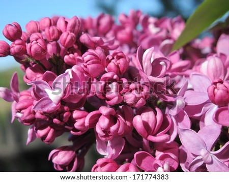 Common lilac (Syringa vulgaris) flowers against a blue sky in the spring garden - stock photo