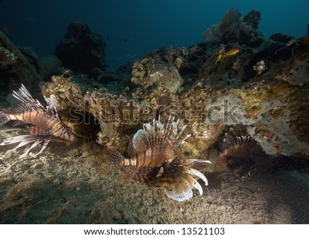 common lionfish (pterois miles) - stock photo
