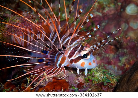 Common Lionfish (Pterois volitans) swims under a hard coral on a tropical reef. Underwater photo. - stock photo