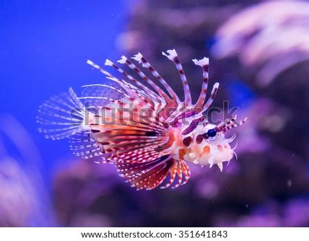 Common lionfish yawn Pterois miles - stock photo