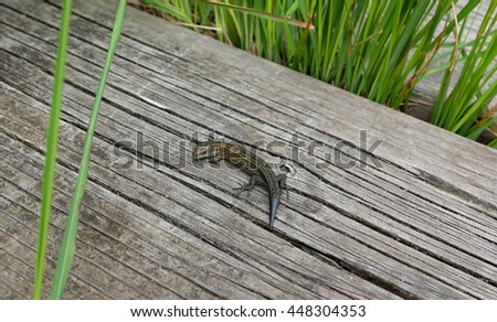 Common lizard, lacerta vivipara or zootoca vivipara, on a boardwalk among grass. The viviparous lizard has a short stubby regenerated tail.  - stock photo