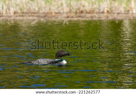 Common Loon in water - stock photo
