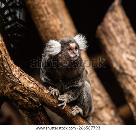 Common marmoset - stock photo