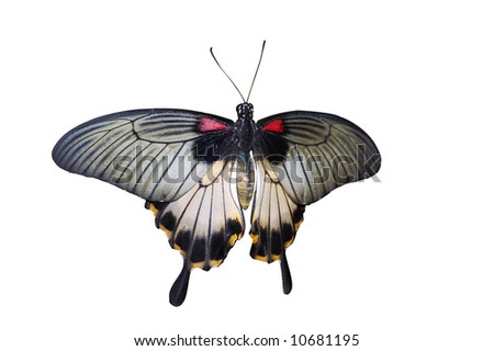 Common Mormon butterfly, isolated on white - stock photo