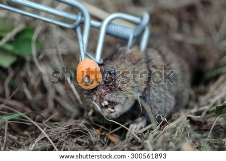Common mouse in a mousetrap. Mouse captured. Death. Trap. - stock photo