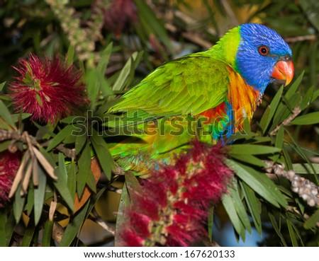 common native parrot the Rainbow  lorikeet - stock photo