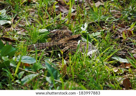 Common Nighthawk bird, Chordeiles minor, hidden on the ground, Caribbean, Costa Rica - stock photo