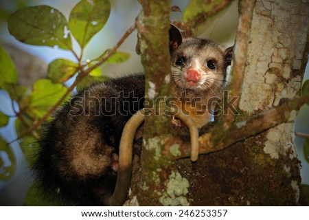 Common Opossum, Didelphis marsupialis, wild nature, Belize - stock photo