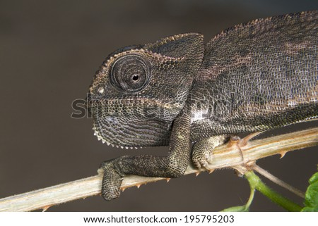 Common or Mediterranean chameleon (Chamaeleo chamaeleon) changing its color according to the color of environment. - stock photo