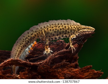 common or smooth newt male during spring time with ornamental breeding colours. Fresh water amphibian living in small ponds. These aquatic species protected nature conservation. Lissotriton vulgaris - stock photo