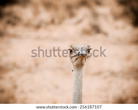 Common ostrich  (Struthio camelus) is either one or two species of large flightless birds native to Africa, the only living member(s) of the genus Struthio, which is in the ratite family - stock photo