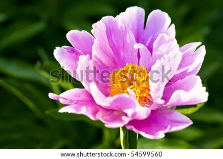 Common peony - stock photo
